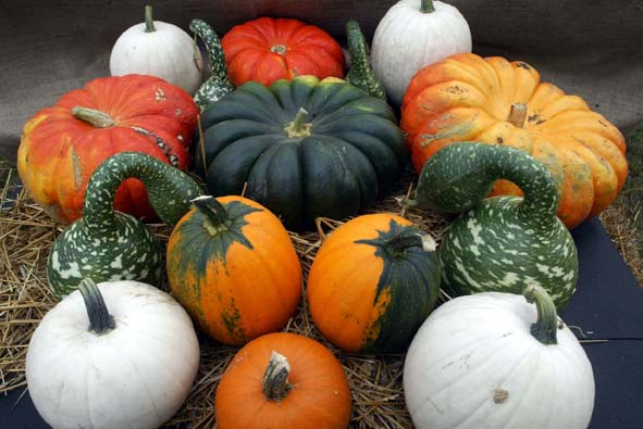 What to grow in the garden, pumpkins and winter squash, pumpkins, winter squash
