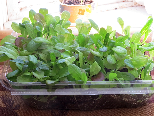 Container Gardening, salad container