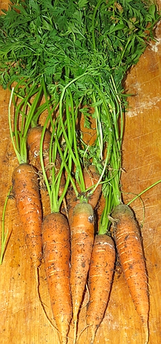 Napoli carrots grown in a container