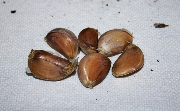 How to plant garlic cloves