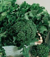 Calabrese broccoli, what to grow in the garden, how to grow broccoli