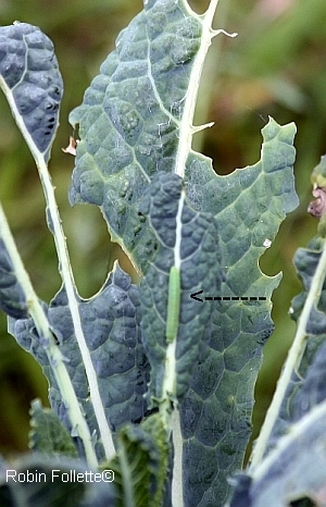 garden pest barrier, cabbage worm damage
