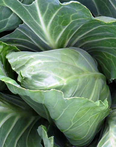 cabbage, what to grow in the garden