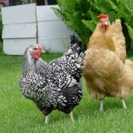 backyard chickens, 2
