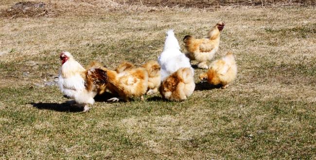 gardening, bantam silkies, silkie bantams, bantam chickens