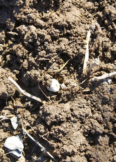 gardening season, garden, pea seeds