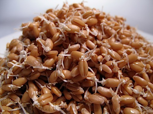 Speedy Sprouts Sprouted Wheat Berries