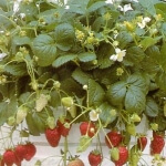 Strawberry, Alexandria Heirloom Seeds