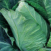Cabbage Early Jersey Wakefield Heirloom